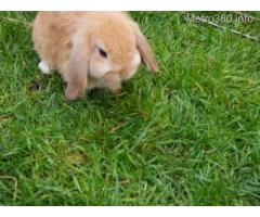 Rabbit Pet For Sale (bunny, hare)
